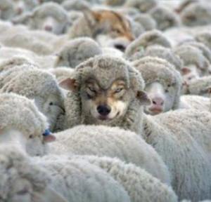 lupi in haine de oi